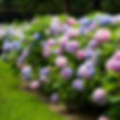 Endless Summer(R) Hydrangea.jpg