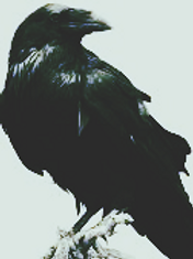 raven_edited.png