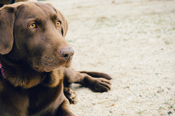 chocolate lab in the park