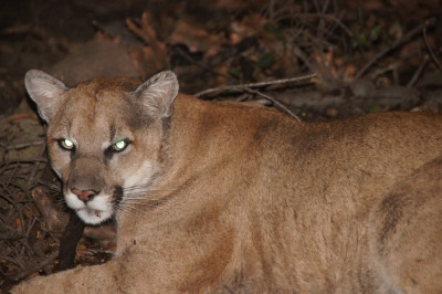 Photo of mountain lion courtesy of the National Park Service