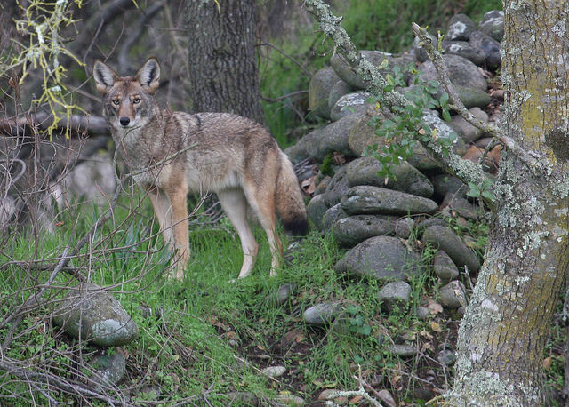 Photo of coyote courtesy of the National Park Service