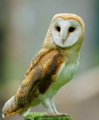 Photo of barn owl courtesy of Pinterest