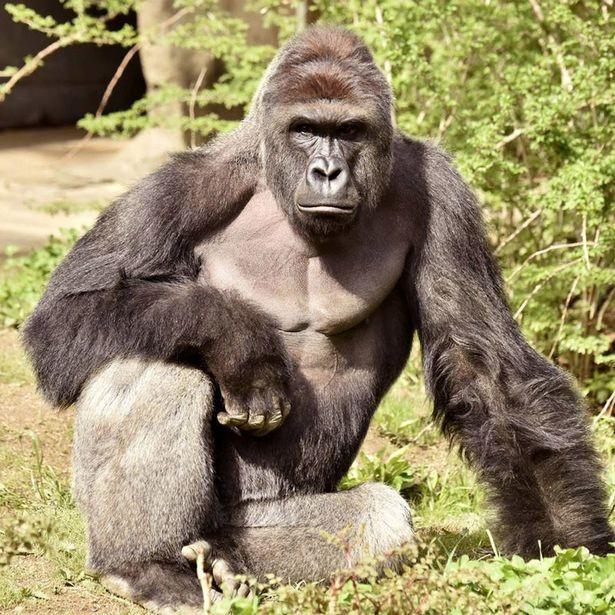 Harambe, the Gorilla died May 28th, 2016 at the Cincinnati Zoo