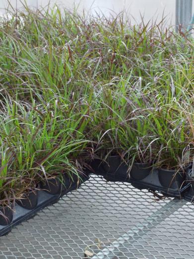 Rubrum Grass 4 in.JPG