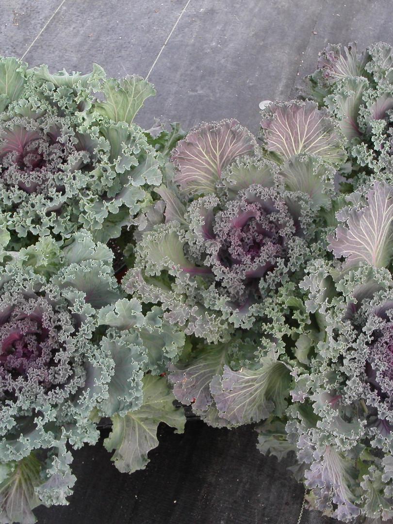 Flowering Kale.JPG