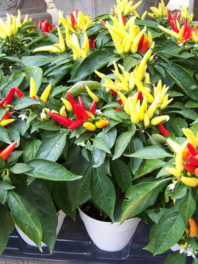 Ornamental Peppers.JPG