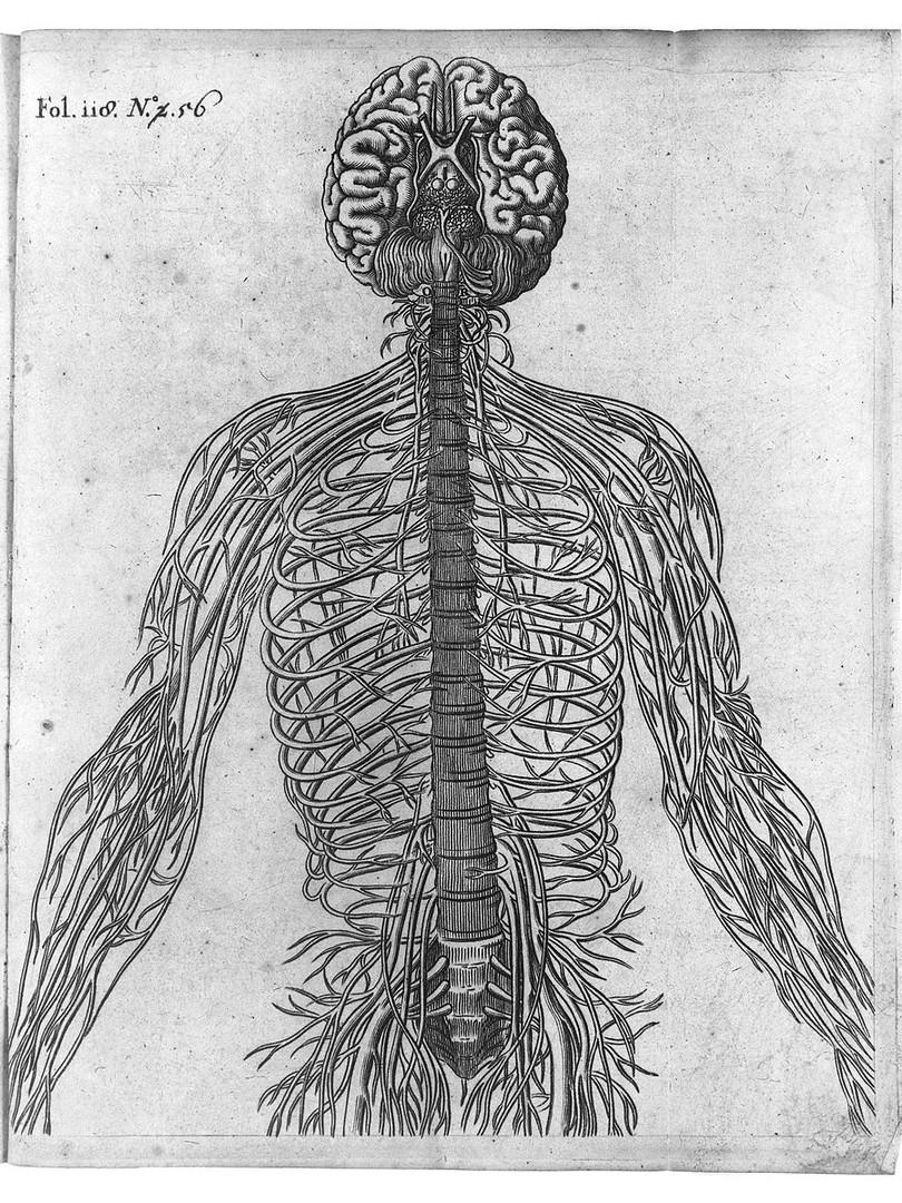 Descartes. A Diagram of the Brain and Nerves