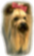 Yorkieshire Terrier Head