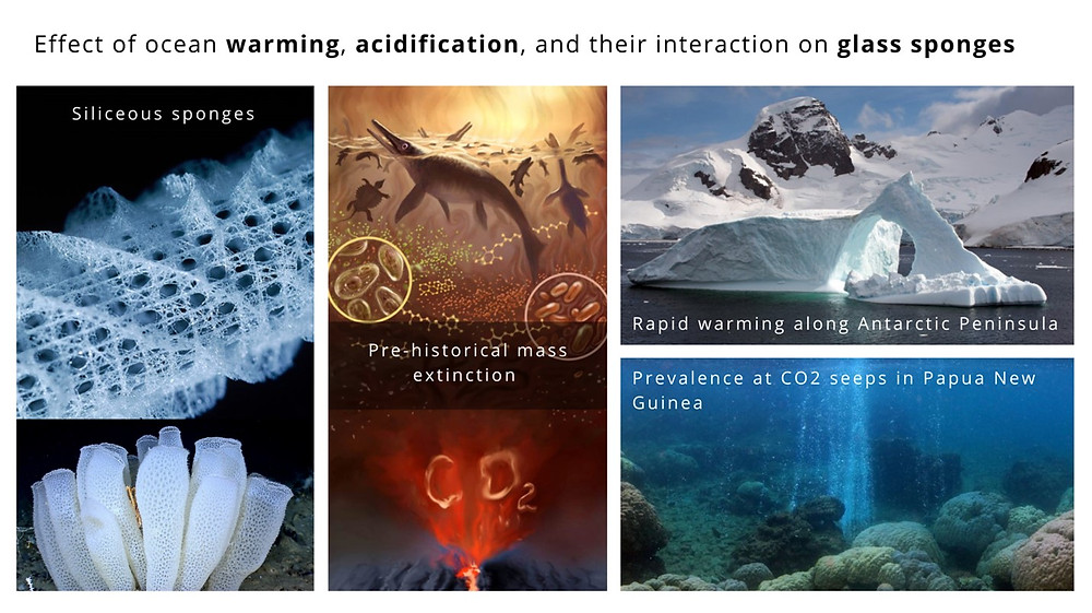 Summary slide of topic, featuring images of siliceous sponges, depictions of mass extinctions with dying icthyosaurs and CO2 being released by a volcanic vent, a melting iceberg, and an image of underwater CO2 vents