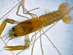 Low pH impacts on juvenile American lobsters