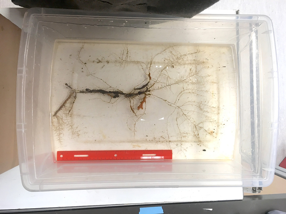 An example of a bushier hydroid clump with many branches coming off the main stalk
