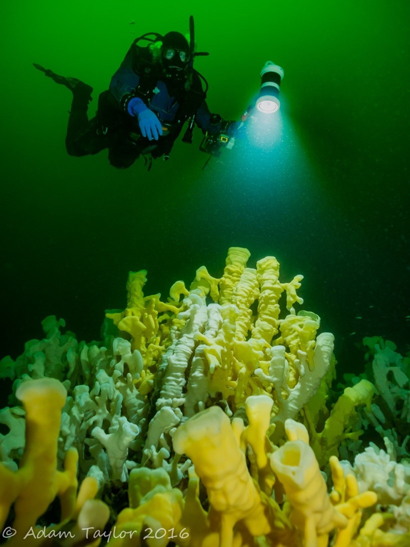 Underwater photo of a diver shining a light on a glass sponge reef.