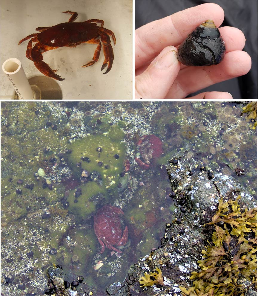 image of crab, snail with large predation scar, and crabs and snails in a tidepool