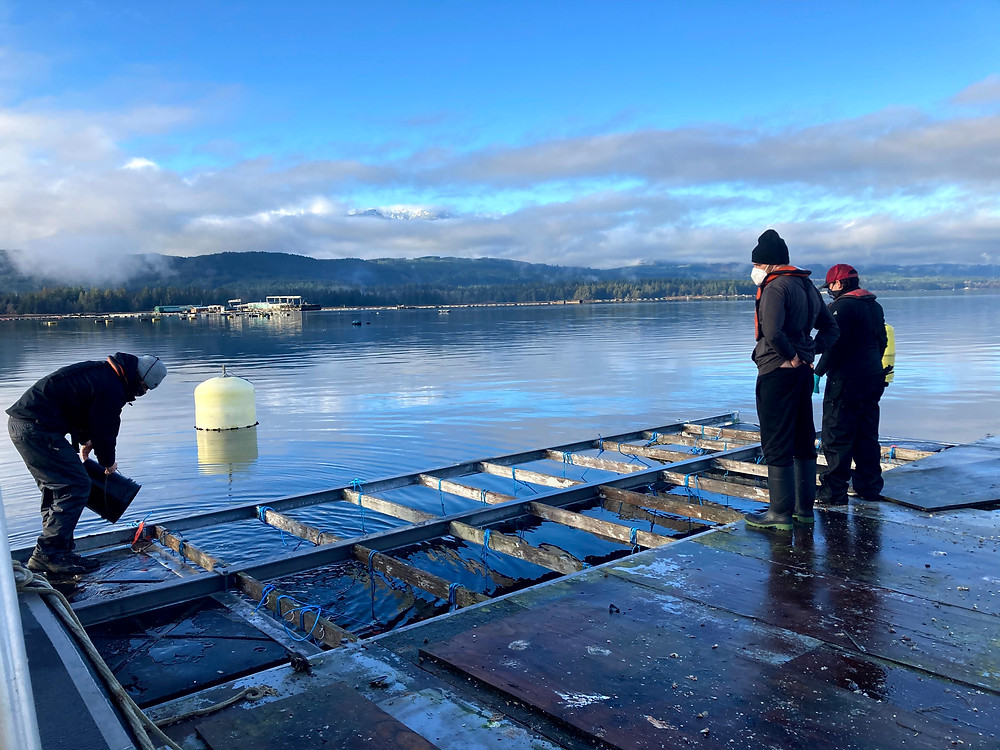 Three people stand on VIU Deep Bay Marine Field Station raft with suspended nets/trays of oysters used in field deployment trials.
