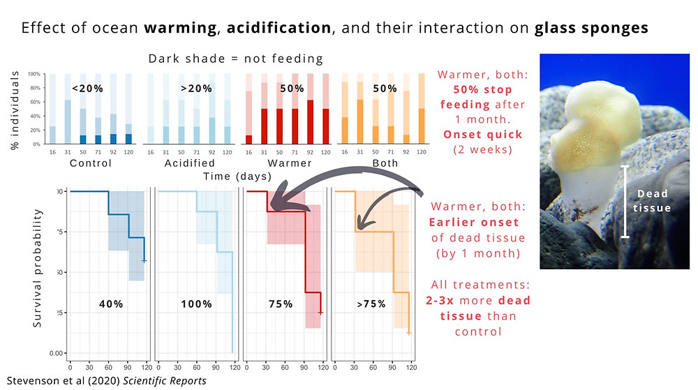 Summary image of results, showing that acidification and warming negatively impact sponge feeding (50% stop feeding after 1 month with quick onset of reduced feeding (2 weeks) and early onset of dead tissue by one month. Under all treatments, there was 2 - 3 times more dead tissue than controls).