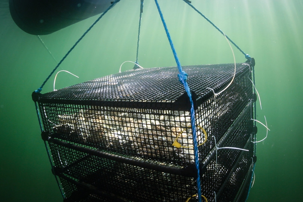 an underwater view of a shellfish raft (black mesh, layered platform containing shellfish)