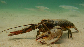 Investigating effects of climate change on American lobsters at the St. Andrews Biological Station