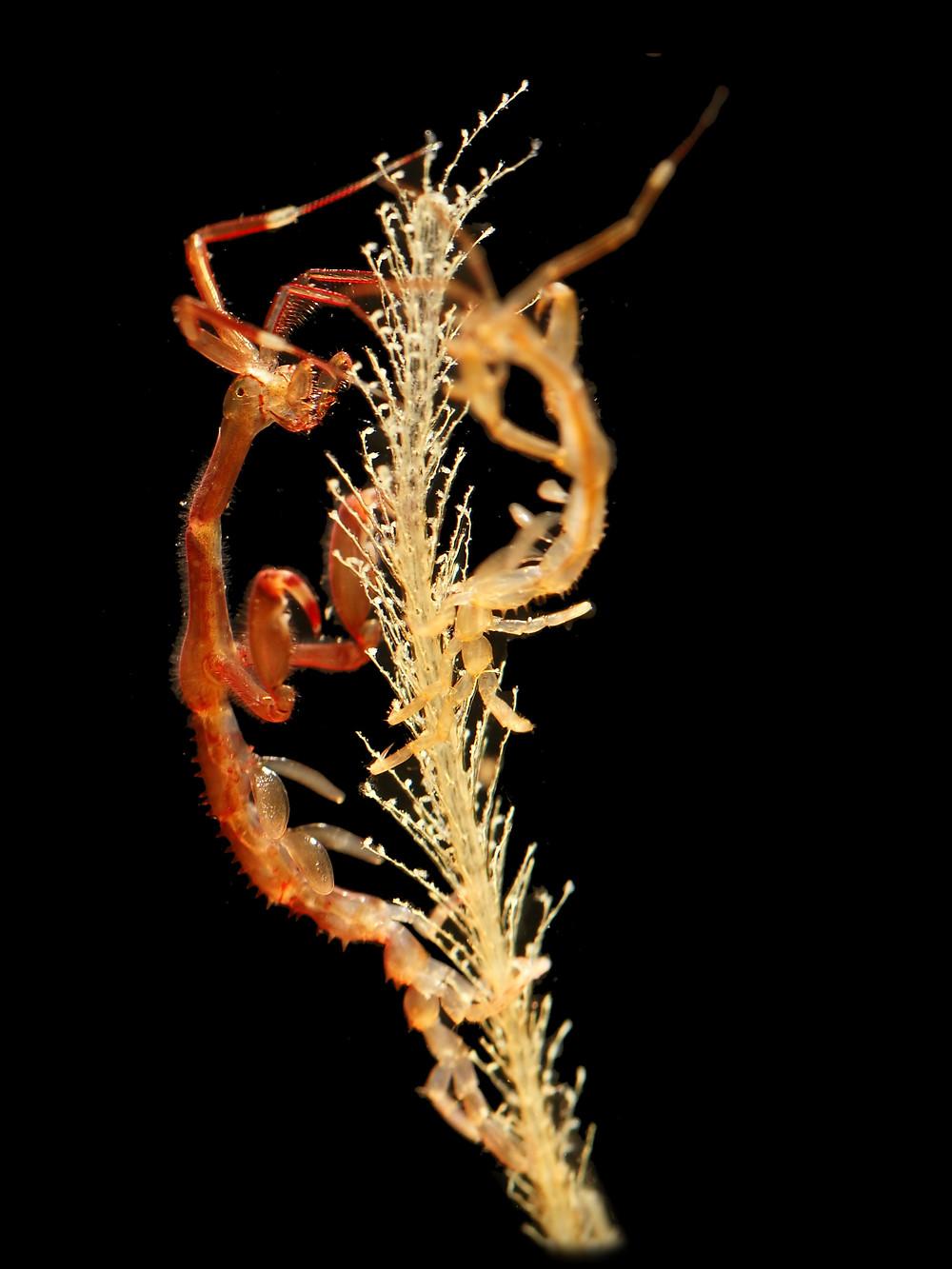 A caprellid (Caprella mutica) on a hydroid colony.