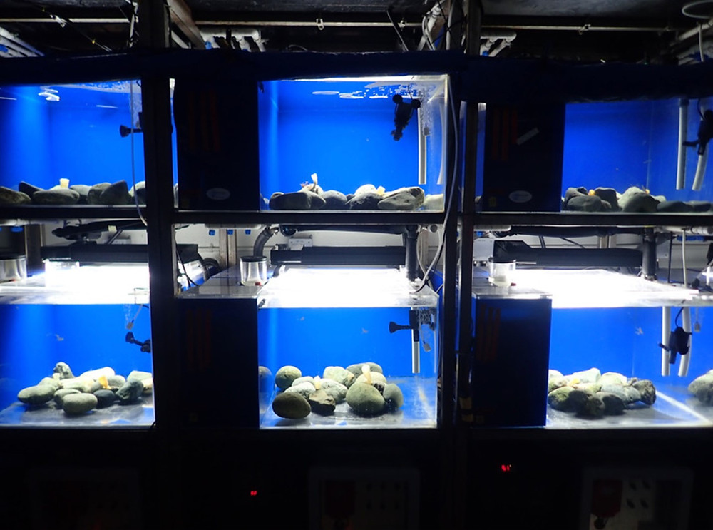 Juvenile glass sponge Aphrocallistes vastus in mesocosm tanks