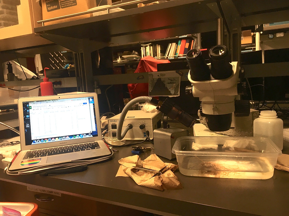 A lab setup with a laptop on the left and a dissecting microscope on the right. There is a hydroid colony under the scope and tweezers and paper towel at the ready to the left of the scope.