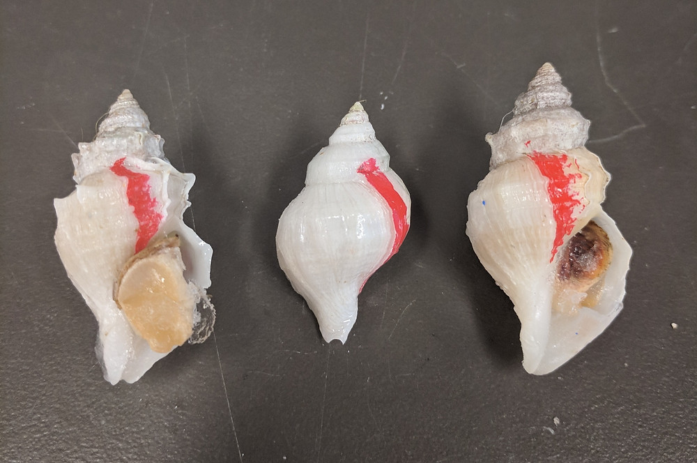Three snails (Nucella lamellosa) lay on a surface. The operculm and foot are visible in the left and right snails, and the aperture is facing away from the camera in the middle one. All three snails have a line of red nail polish indicating their size at the beginning of the experiments, with substantial new growth (almost a full 360 degrees) occuring in all three.