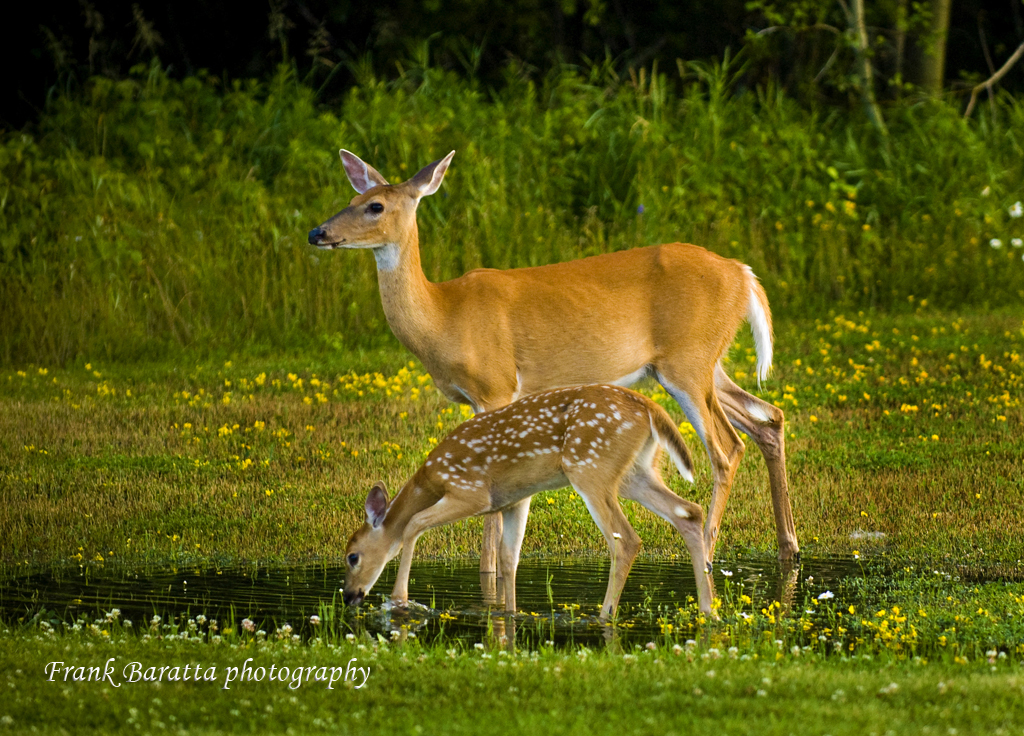 Thunder Bay Deer Scenic