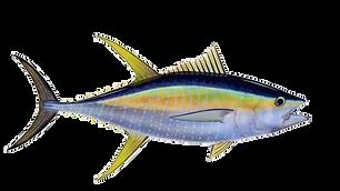 yellowfin-tuna-endlesssummer1.png