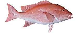 red-snapper-endless-summer.png