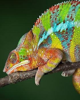 chameleon-sleepy-crop.ngsversion.1556636