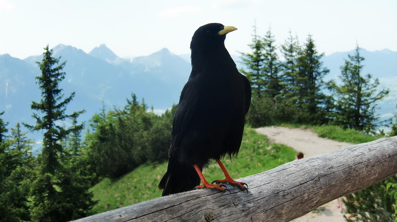 Frecher Schwarzflügel-Flieger