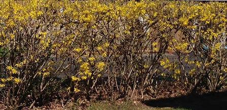 old, struggling forsythia hedge
