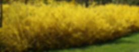 rejuventated, lush forsythia hege