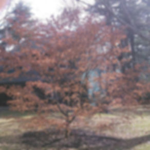 Japanese maple BEFORE