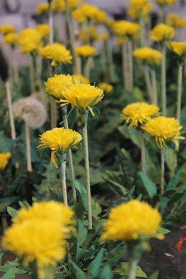 Paper Dandelions 1.jpg
