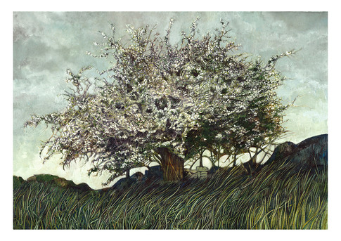 ' The Whitethorn Tree'