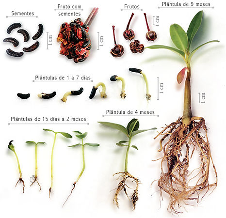 Schwartzia brasiliensis.jpg