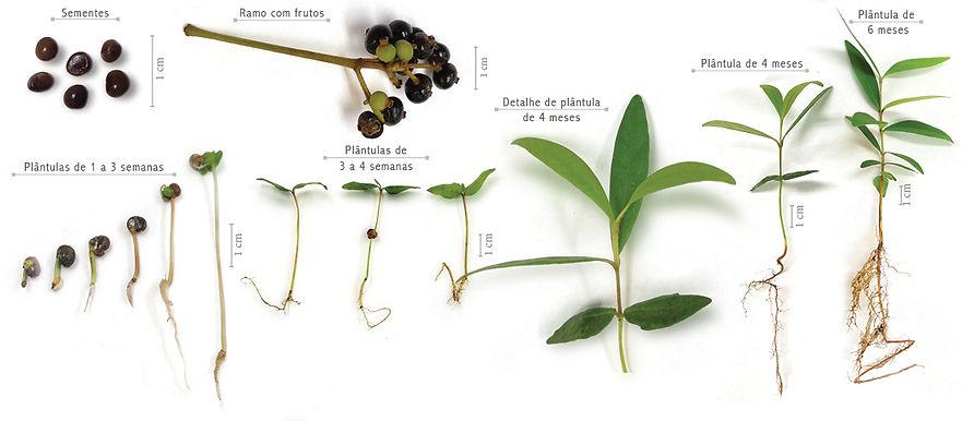 Calyptranthes brasiliensis.jpg