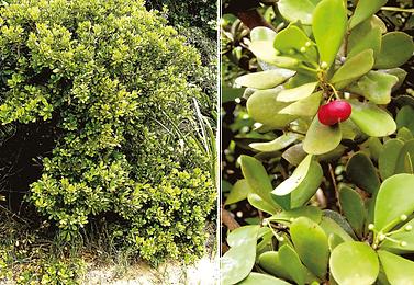 acquinia-armillaris.png
