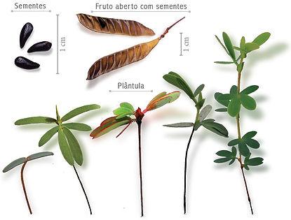 Chamaecrista ramosa.jpg