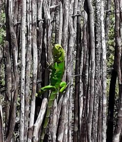 Camaleão São Miguel do Gostoso