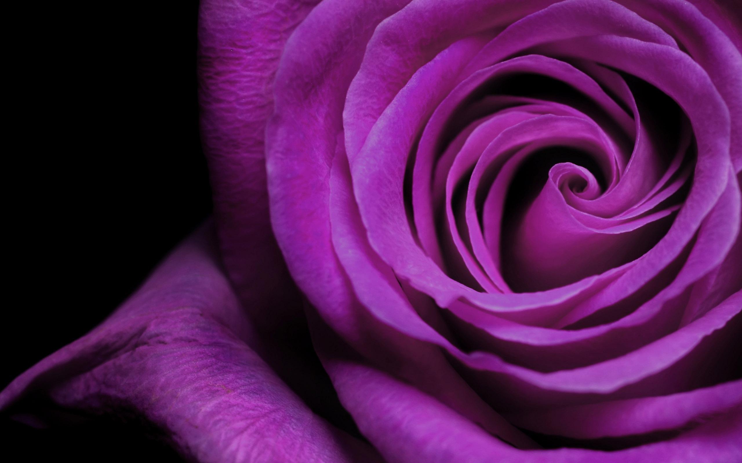 1600_Black And purple rose wallpapers.jp