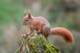 'Red Squirrel' by Valerie McKee - Highly Commended
