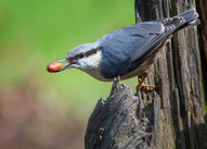 'Nuthatch' by Valerie McKee