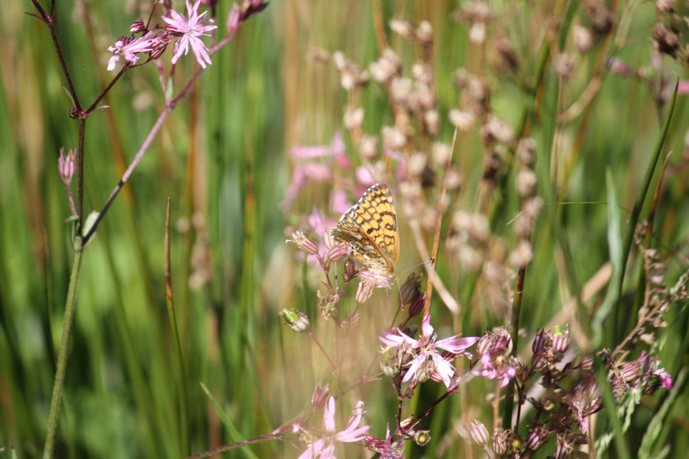 La Lychnide fleur-de-coucou