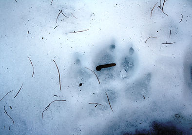 Traces dans la neige