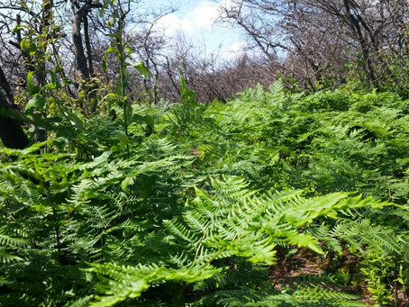 The Wisdom of the Bracken Fern