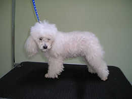 poodlebefore