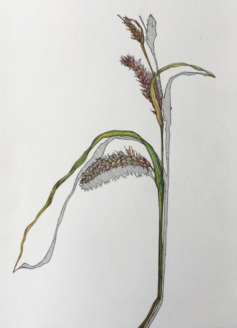Grasses 1.JPG