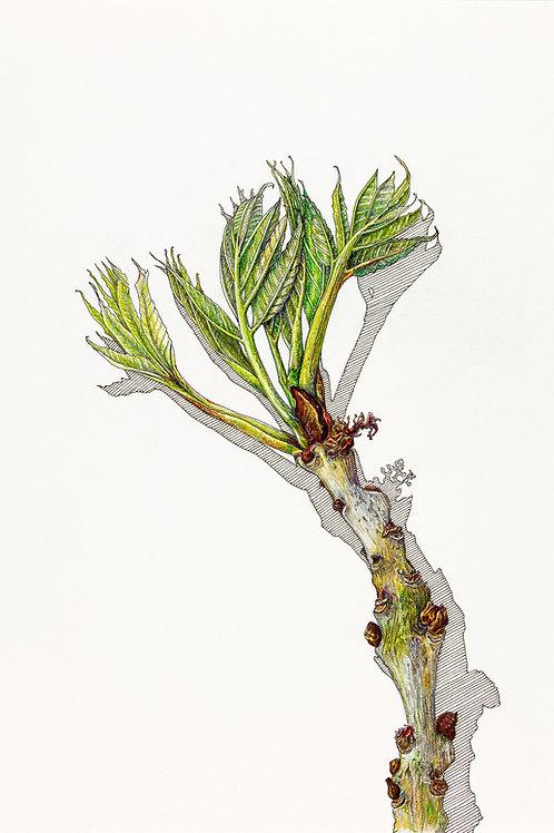 'Ash Leaves' Print. Price includes P+P.