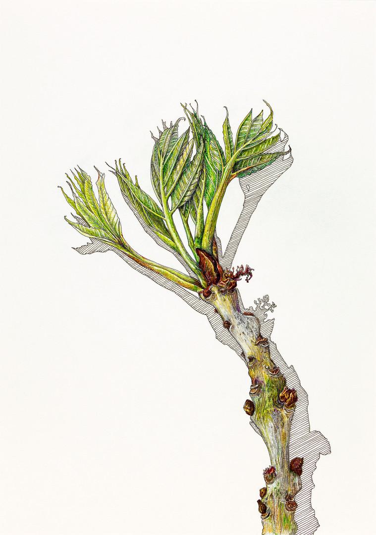 Ash Leaf 2 for web.jpg